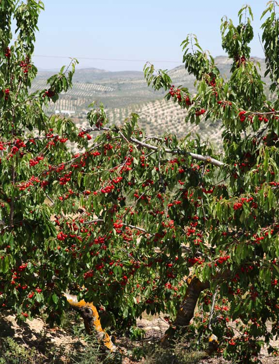 cherries-and-olives