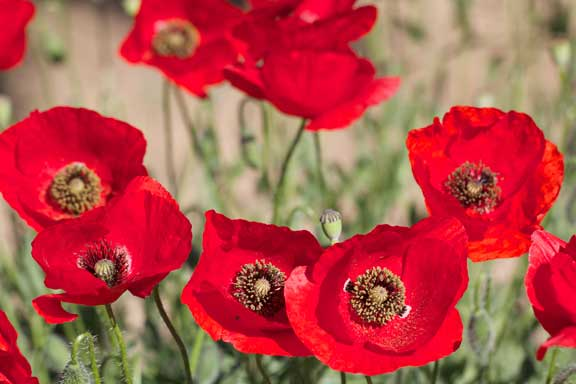 lots-of-poppies