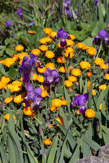 marigolds-and-Irises