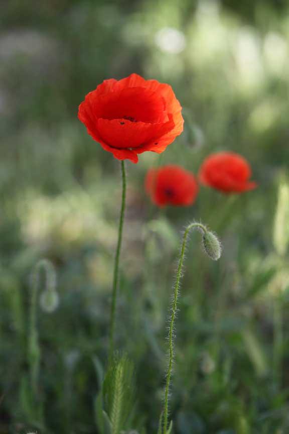 morning-poppies