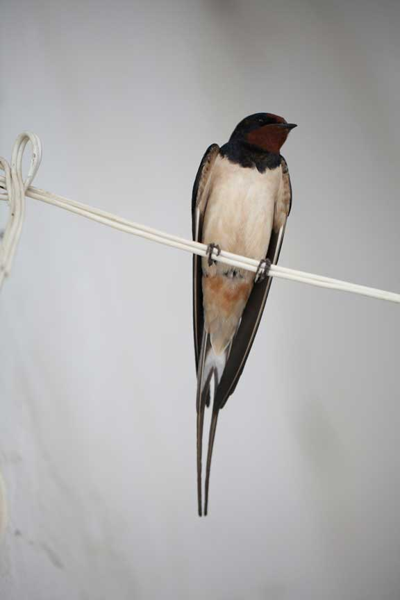 mr-swallow