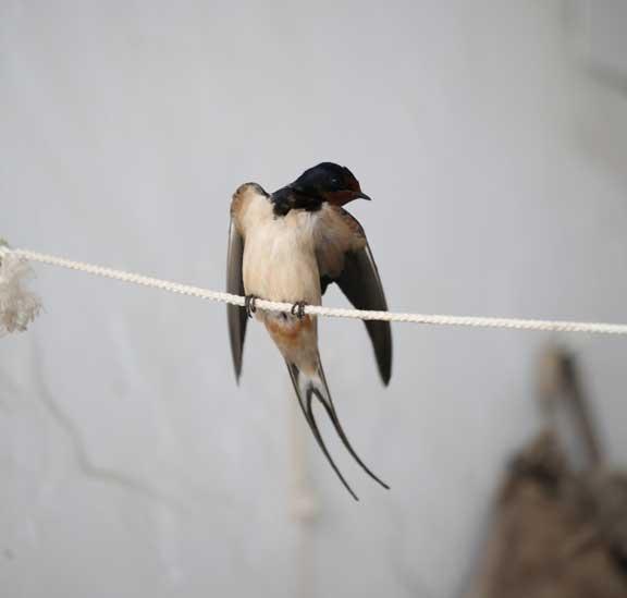 mrs-swallow