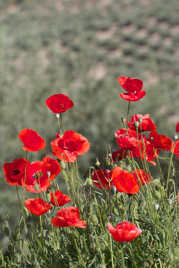 poppies-and-olives