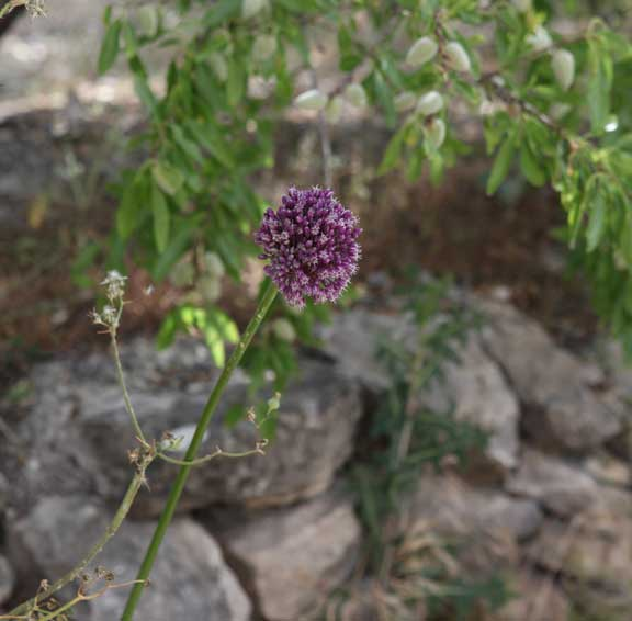 stone-wall---almonds-purple-plant