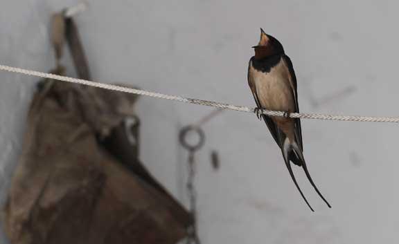 swallow-3