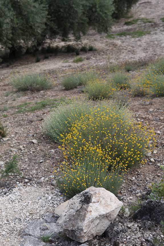 yellow-bush