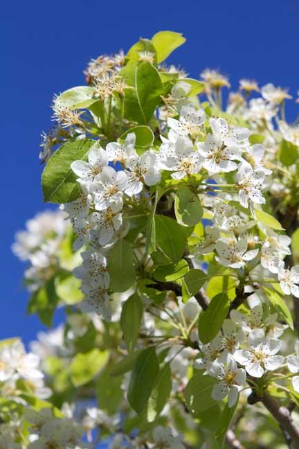 blossom-and-blue-sky