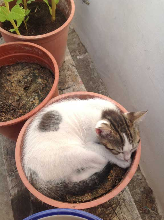 potted-kitten